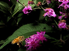 Honey Bee In Flight & Tall Ironweed Flowers IMG_0065 (Ted_Roger_Karson) Tags: northern illinois bee honey flying hand held camera sloitary macro flowers super bumble flower thisisexcellent lens flowerhead yard friends twop bug hd fuji eyes m150 macroscopic pollen animal outdoor insect pollinator plant depth field backyard animals garden butterfly bees canonsx280hs canonpowershotsx280hs