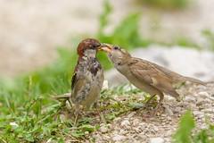 L'imbeccata (Raffaella Coreggioli ( fioregiallo)) Tags: natura macro uccelli passero nikon tamron fioregiallo imbeccata mamma auronzo cadore dolomiti becco verde foglie sassi avifauna