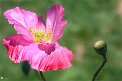 Coquelicot rose (Pascal Photo Passion) Tags: nature couleur rose verdure