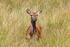 Red Deer (Cervus elaphus) (Julian Chilvers) Tags: 7dwf hampshire animal reddeer fauna burley uk mammal