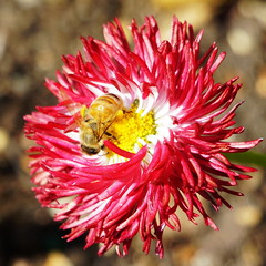 bee in (Painful, slow internet:() Tags: hydepark sydney bee flower