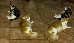 Lives Between Cats (jlynfriend) Tags: photophone lg cat calico harrytweedledee livingroom floor tile
