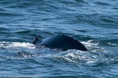 AHK_7600 (ah_kopelman) Tags: unkmncresli2018082601 2018 cresli creslivikingfleetwhalewatch megapteranovaeangliae montaukny vikingfleet vikingstarship entanglementscarsonleadingedgeofdorsalfin entanglementscarsontrailingedgeofdorsalfin humpbackwhale whalewatch