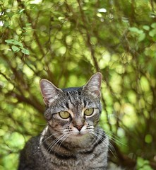 Camille in her hiding place under the Spirea bush (rootcrop54) Tags: camille female mackerel tabby dof spirea bush light blur green eyes neko macska kedi 猫 kočka kissa γάτα köttur kucing gatto 고양이 kaķis katė katt katze katzen kot кошка mačka gatos maček kitteh chat ネコ