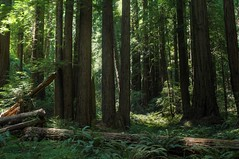 Among sequoias (Kasimir) Tags: trees muir woods starwars forest nature green bosque wald árbol sequoia