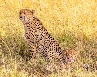 Cheetah brothers on the Mara (Explored)