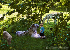 'Zoo Au Naturel' in western Massachusetts seizes upon a new concept in spectator meangeries. It places all creatures indigenous to the Congo Jungle together in an open, yet confined space of just two acres. (Fotofricassee) Tags: tiger zoo jungle zebra
