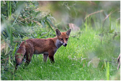 Red Fox. (vegetus aer) Tags: woodwaltonfen greatfen greatfenproject wildlifetrust bcnwildlifetrust nnr cambridgeshire red fox redfox
