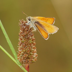 2018_07_0358 (petermit2) Tags: smallskipperbutterfly smallskipper butterfly northcavewetlands northcave brough eastyorkshire eastridingofyorkshire yorkshire yorkshirewildlifetrust ywt wildlifetrust wildlifetrusts