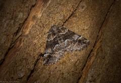Gastrina cristaria (dustaway) Tags: arthropoda lismorerainforestbotanicgardens monaltrie lismore nature northernrivers nsw australia insecta lepidoptera geometridae ennominae gastrinacristaria