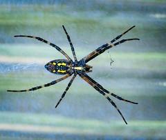 Spider At the Door (otterman51) Tags: fall macro niagararegion ontario ortbaldauf spider closeup fauna garden nature niagara niagaraescarpment ortbaldaufcom outdoors photography summer web wildlife