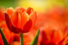 Seeking the Light (setoboonhong) Tags: nature outdoor melbourneinternationalflowerandgardenshow tulips depthoffield bokeh blur colours light flower closeup