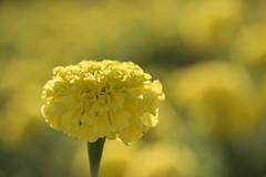 Jaune * (Titole) Tags: rosedinde yellow nicolefaton titole shallowdof tageteserecta