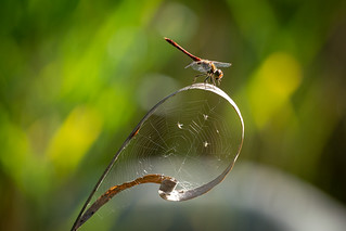 Dragonfly works as a spider
