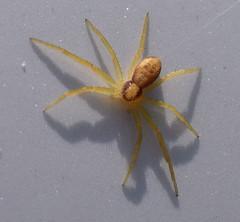 aDSC_0272 (dutchdoubles) Tags: macro wildlife arachnid arachnids spider