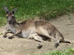 Brookfield, IL, Brookfield Zoo, Kangaroo (Mary Warren 11.5+ Million Views) Tags: brookfieldil brookfieldzoo nature fauna zoo marsupial animal kangaroo