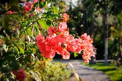 Bali, Pemuteran (Calinore) Tags: indonesia indonesie fleurs flowers