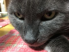 Yuba's Close-up Portrait (sjrankin) Tags: 15september2018 edited animal cat yuba closeup portrait table placemat dinnertable dinner livingroom kitahiroshima hokkaido japan