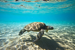 IMG_0926A (Aaron Lynton) Tags: beach lyntonproductions turtle honu maui hawaii luckywelivehawaii greenseaturtle seaturtle turtles refraction sun light water ocean oceanart reflect reflection sand coast