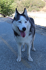 Dakota (Webfoot5) Tags: dog dogs dogsonwalks dogzonwalkz husky
