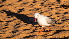 Seagull and Shadow on the Beach (Merrillie) Tags: daybreak shadow sand landscape gull silvergull dawn northpearlbeach newsouthwales animal pearlbeach nsw seagull morning wildlife sea bird coast coastal earlymorning outdoors australia fauna centralcoast nature seaside