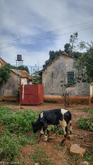 Cow in the yard (jamganz) Tags: entebbe