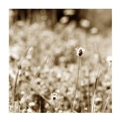 bokeh (Claudio Taras) Tags: claudio contrasto controluce bw bokeh biancoenero bokehlicious monocromo monochrom mediumformat natura film fomapan 6x6 analogica analogico taras pstoned moersch tanol erba fiori