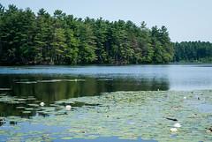Scenic Stearns Pond. (kuntheaprum) Tags: paddleboarding photography stearnspond lotus flower mushroom nixy nikon d80 50mm f18