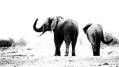 Elephants (Thomas Retterath) Tags: 2017 natur nature sambia zambia africa afrika lowerzambezi allrightsreserved thomasretterath copyrightthomasretterath wildlife adventure bigfive africanelephant elefant elephantidae pflanzenfresser herbivore säugetier mammals animals tiere loxodontaafricana