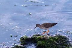Redshank (oddbodd13) Tags: bird seabird wader redshank rock seaweed coast
