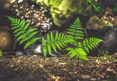 On the edge (unciepaul) Tags: padley gorge peak district ferns green depth field dof f18 lightroom longexposure