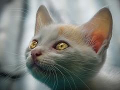 Kitty cat (FakePixel) Tags: cat cats animals kitten animalphotography pet white grey shimla himachalpradesh india