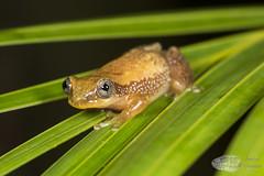 Afrixalus aureas (Imelus Umwabe) Tags: southafrica fieldherping frog chameleon toad africa herpetology herping kwazulunatal saintlucia endemic wildlife canon canon5dmkiii macro twinflash