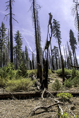 Holey Tree, Yosemite N. P. (punahou77) Tags: mariposagrove mariposa yosemite yosemitenationalpark yosemitevalley giantsequoia stevejordan sierras sierranevada sequoias blackandwhite nature nikond500 nikon trees punahou77 dead
