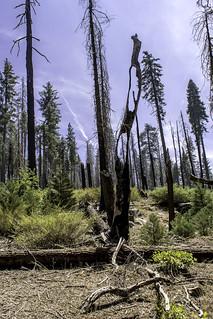 Holey Tree, Yosemite N. P.