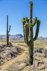 On the trail (doveoggi) Tags: 4324 mcdowellsonoranpreserve scottsdale desert cactus saguaro trail