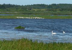 Denmark, birds and swans (duqueıros) Tags: dänemark denmark danmark natur nature schwan swan vögel birds wasser water duqueiros
