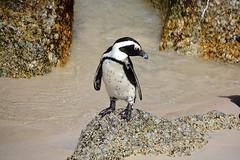 Le solitaire South Africa_6192 (ichauvel) Tags: manchot pingouins pinguins animal attitude bouldersbeach southafrica afriquedusud afrique africa voyage travelexterieur outside rochers rocks plage beach sable sand getty