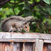 Squirrel in my Backyard (1)