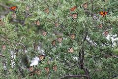 mona-plainviewschool-9-09-18-tl-03-screen (pomarinejaeger) Tags: colorado insect lepidoptera butterfly monarch danausplexippus