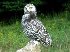 Baby Snowy IMG_3053 (Jennz World) Tags: snowyowl owl ©jennifermlivick canadianraptorconservancy vittoria ontario canada