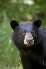 Sow (Seventh day photography.ca) Tags: blackbear bear sow animal nature wildanimal wildlife mammal ontario canada summer chrismacdonald seventhdayphotography
