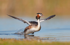 Great Crested Grebe (shelley90) Tags: greatcrestedgrebe grebes bird birdbehaviour nature