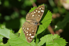 IMGP9822c Speckled Wood, Gamlingay Wood, September 2018 (bobchappell55) Tags: wild wildlife insect nature cambridgeshire butterfly speckledwood v gamlingaywood
