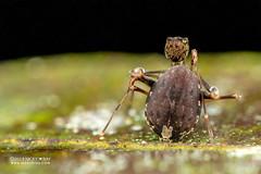 Assassin spider / Pelican spider (Eriauchenius sp.) - DSC_2736 (nickybay) Tags: africa madagascar macro andasibe voimma assassin spider pelican archaeidae eriauchenius