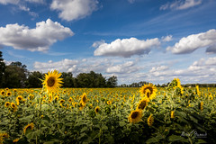 Sunflowers field (Michał Banach) Tags: canonef1635mmf4lisusm canoneos5dmarkiv greaterpoland poland polska bluesky clouds countryside field landscape nature outdoor poutside rural summer sunflowers