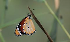 Plain Tiger Butterfly      (Danaus chrysippus) (nick.linda) Tags: plaintigerbutterfly danauschrysippus butterflies wildandfree spain nature canon7dmkii canon100400