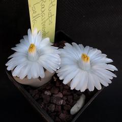 Lithops karasmontana subsp. bella C295 '13013'