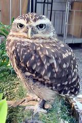 Bumble (billnbenj) Tags: barrow cumbria owl littleowl raptor birdofprey