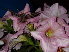 TW643: Hummingbird Moth (Thiophene_Guy) Tags: thiopheneguy originalworks olympustoughtg4 tg4 olympustg4 olympusstylustg4 tough hummingbirdmoth